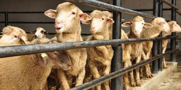 Dış görünüşünden kurbanlık hayvanın hasta olduğu anlaşılabilir mi?