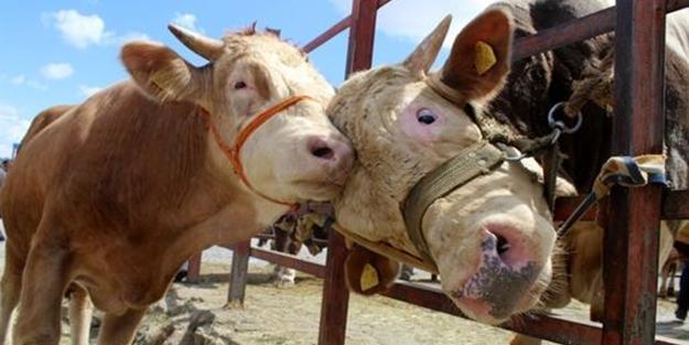 Hangi hayvanlar kurban edilir?
