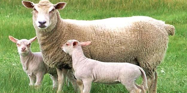 Kuyruksuz koyunlar kurban edilebilir mi?